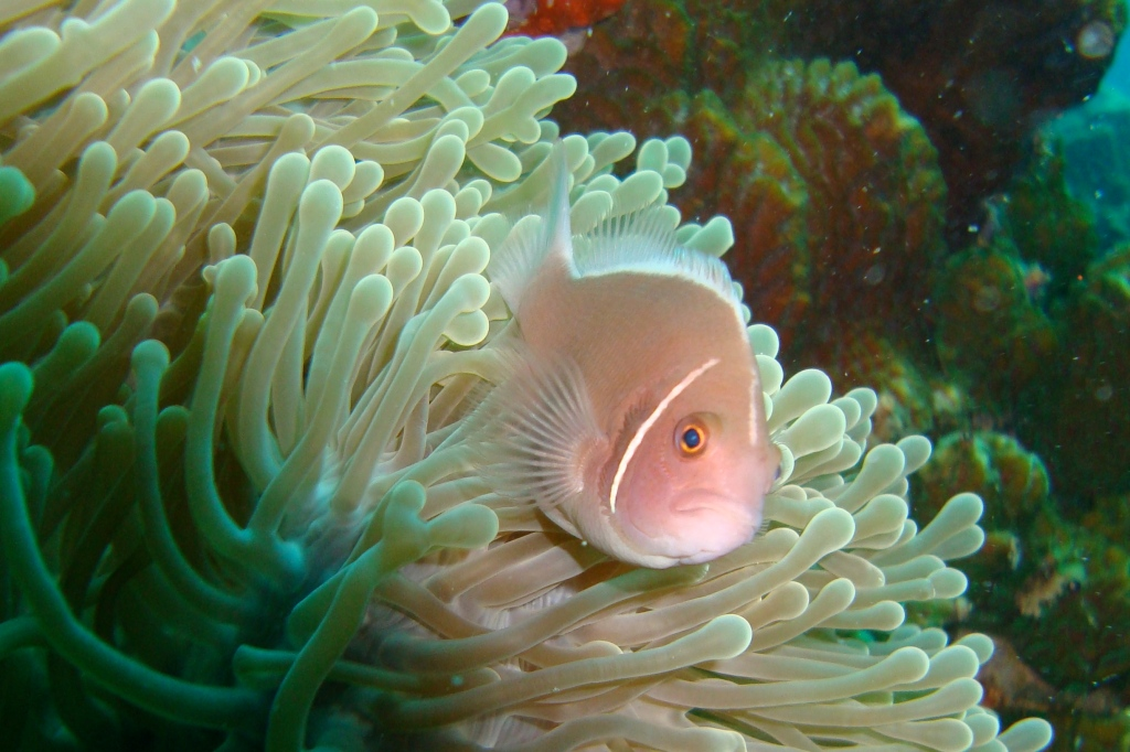 Clownfish in Thailand
